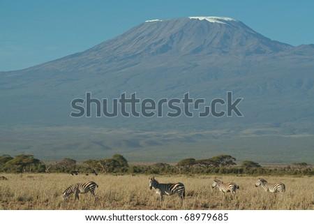 A herd of zebra feeding in the grassland below Mount Kilimanjaro