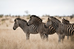 A herd of zebras standing on the savanna field with a blurred background