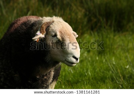 A Herdwick ram or tup in the Lake District, Cumbria