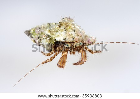 A hermit crab isolated on white background