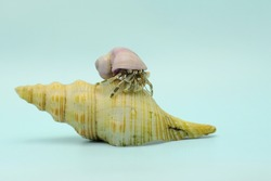 A hermit crab (Paguroidea sp) is walking slowly around the shell of a large dead hermit crab.