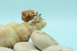 A hermit crab (Paguroidea sp) is walking slowly on the shell of a large dead hermit crab.