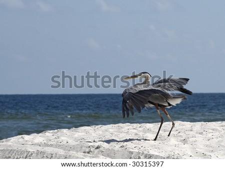A heron as it lands on the Alabama gulf coast.
