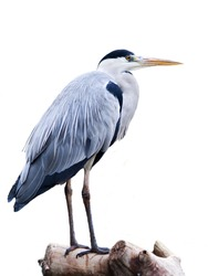 A heron bird isolated in white