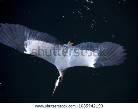 A heron crossing water viewed from above in flight with its wings spread.\n
