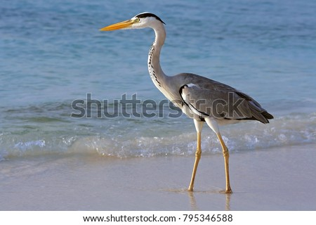 A heron hunting in the sea. Grey heron on the hunt\n