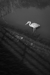 A heron perched on a river in Galicia (Spain), a bird long-legged freshwater and coastal birds in the family Ardeidae
