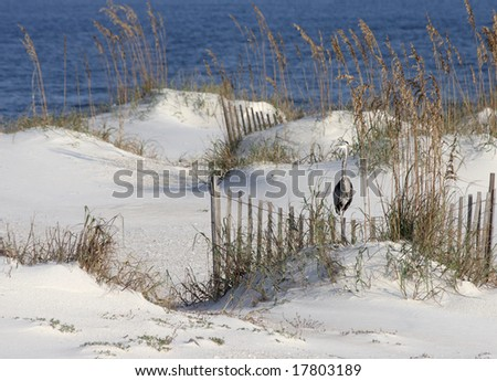 A heron standing among sea oats at the beach on the Alabama gulf coast.