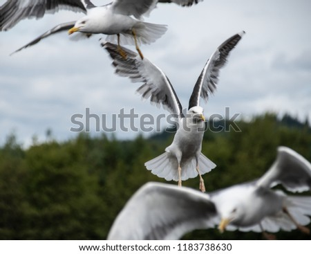 A Herring gull flying within a flock of Gulls #1183738630