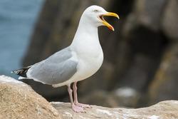 A herring gull (Larus argentatus)