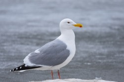 A Herring Gull perches on a frozen lake during the Alaskan springtime.