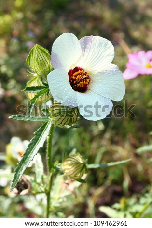 A hibiscus (Hibiscus trionum), Be single love in the drops of dew