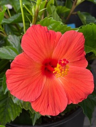 a hibiscus plant with bright orange flowers 2094
