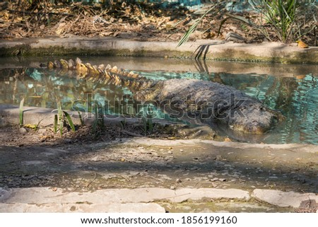 A hidden crocodile in small water pond looking for hunt in zoo park in India  stock photo