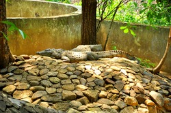 A high angle shot of a huge grey crocodile on the stones