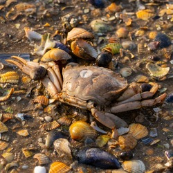 A high angle shot of a wet beach surface with lots of small rocks, seashells and a dead crab