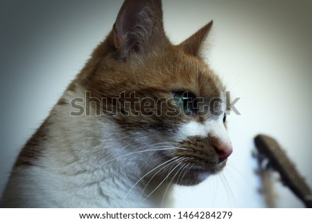 A high quality and high contrast image of a ginger and white cat with a vignette applied