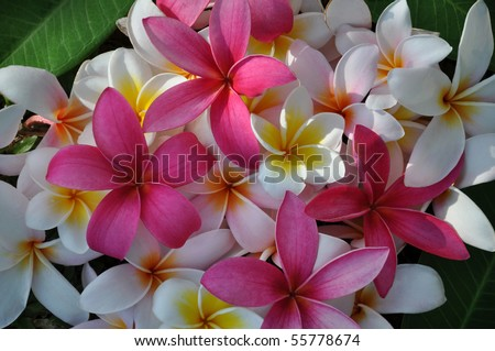 A high resolution of pink and white Tropical frangipanis flowers on a green leaf background.