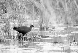 A highkey image of  a Common Moorhen at Asker marsh, Bahrain