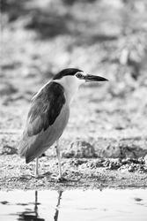 A highkey image of Black-crowned Night heron at Asker marsh, Bahrain