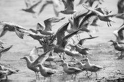 A highkey image of Black-headed gulls in flying at Tubli bay, Bahrain