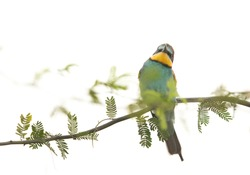 A highkey image of European bee-eater perched on a tree, Bahrain