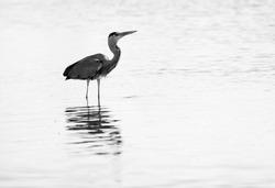 A highkey image of Grey Heron and reflection on water at Tubli bay, Bahrain