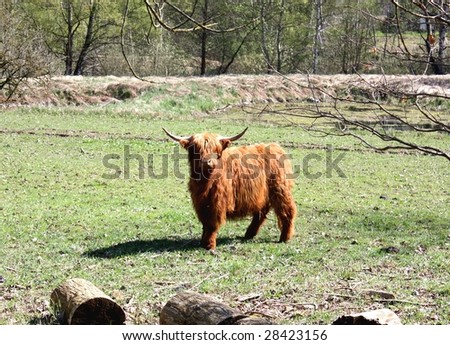 A Highland cattle or kyloe (ancient Scottish breed of beef cattle) with long horns and long brown, wavy pelts