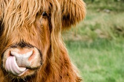 A Highland Coo licking his nose with his tongue, with what looks to be a teardrop running down its cheek.