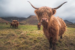 A Highland Cow (bos taurus taurus) or sometimes known as a Hairy Coo are a rustic cattle breed reared for beef and found throughout the Scottish Highlands in Scotland.