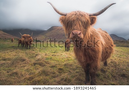 A Highland Cow (bos taurus taurus) or sometimes known as a Hairy Coo are a rustic cattle breed reared for beef and found throughout the Scottish Highlands in Scotland. Stockfoto ©
