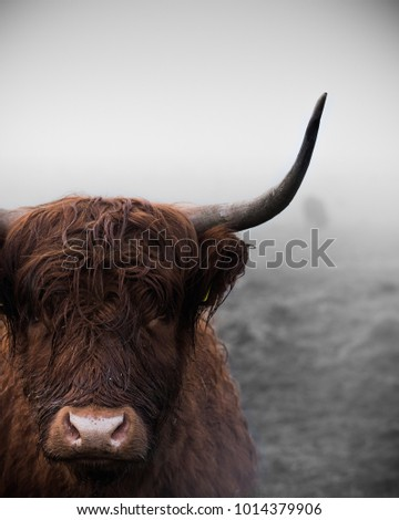 A highland cow standing in the fog.