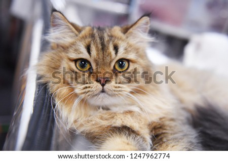 A highland stright cat #1247962774