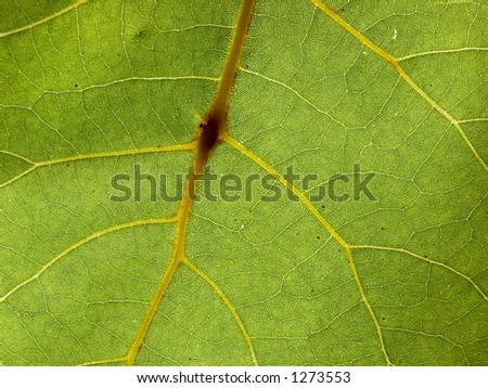 A highly detailed macro shot of a backlit leaf.  In the addition to the large veins visible in the preview, the much smaller veins are also visible. #1273553