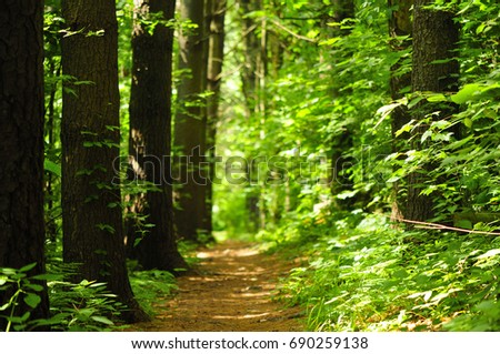 A hiking trail within a evergreen grove within Topsmead state forest in Litchfield Connecticut.   #690259138