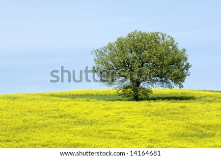 A hill with one tree covered by yellow flowers during spring in Tuscany