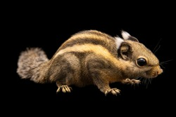 A Himalayan striped squirrel and black background