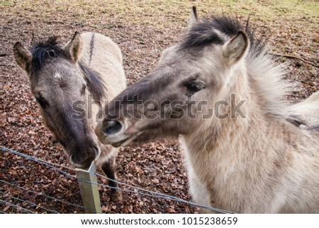 A hinny is a domestic equine hybrid that is the offspring of a male horse, a stallion, and a female donkey, a jenny. It is the reciprocal cross to the more common mule, Beggen, Luxembourg, February. #1015238659