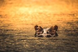 A hippo At sunset in the Selous Game Reserve, Tanzania