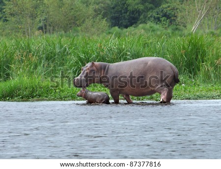 a Hippo cow and calf wading waterside in Uganda (Africa)