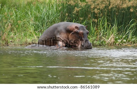 a Hippo cow and calf waterside in Uganda (Africa)