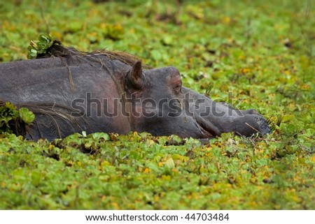 A Hippo in the middle of water lilies