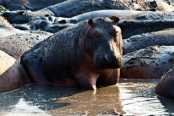 A hippo sits up during a restful day wallowing on the fringe of the Ikuu Hippo Pools in Katavi National Park.