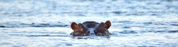 A hippopotamus (Hippopotamus amphibious) lying in the Zambezi River, Zambia with its head above water looking straight at you