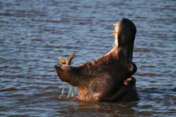 A hippopotamus opens its mouth as it clears the water in a river in South Africa.