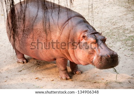 A hippopotamus stand asleep with eating grass.