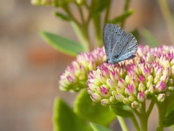 a holly blue butterfly celastrina argiolus feeding from a sedum flower