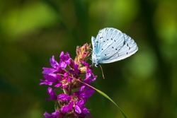 A holly blue butterfly Celastrina argiolus feeding on purple flowers. The holly blue has pale silver-blue wings spotted with pale ivory dots.
