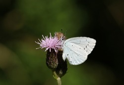 A Holly blue Butterfly, Celastrina argiolus, feeding on the nectar of a thistle flower.