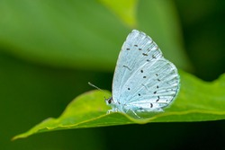 A holly blue butterfly Celastrina argiolus feeding. The holly blue has pale silver-blue wings spotted with pale ivory dots.